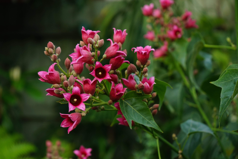 Brachychiton 'Griffiths Pink'